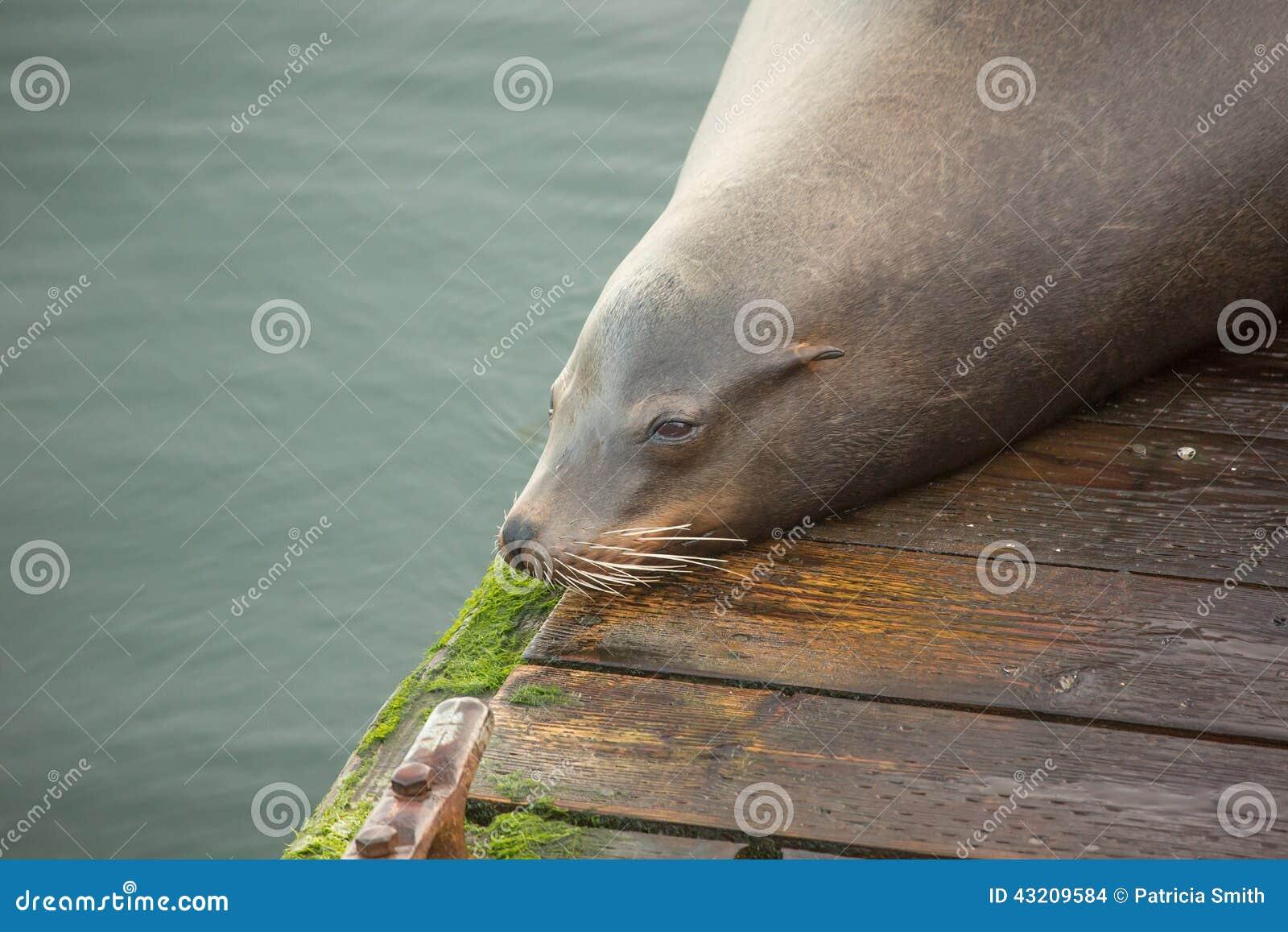 Download Vilande hav för lion arkivfoto. Bild av rest, blubbery - 43209584