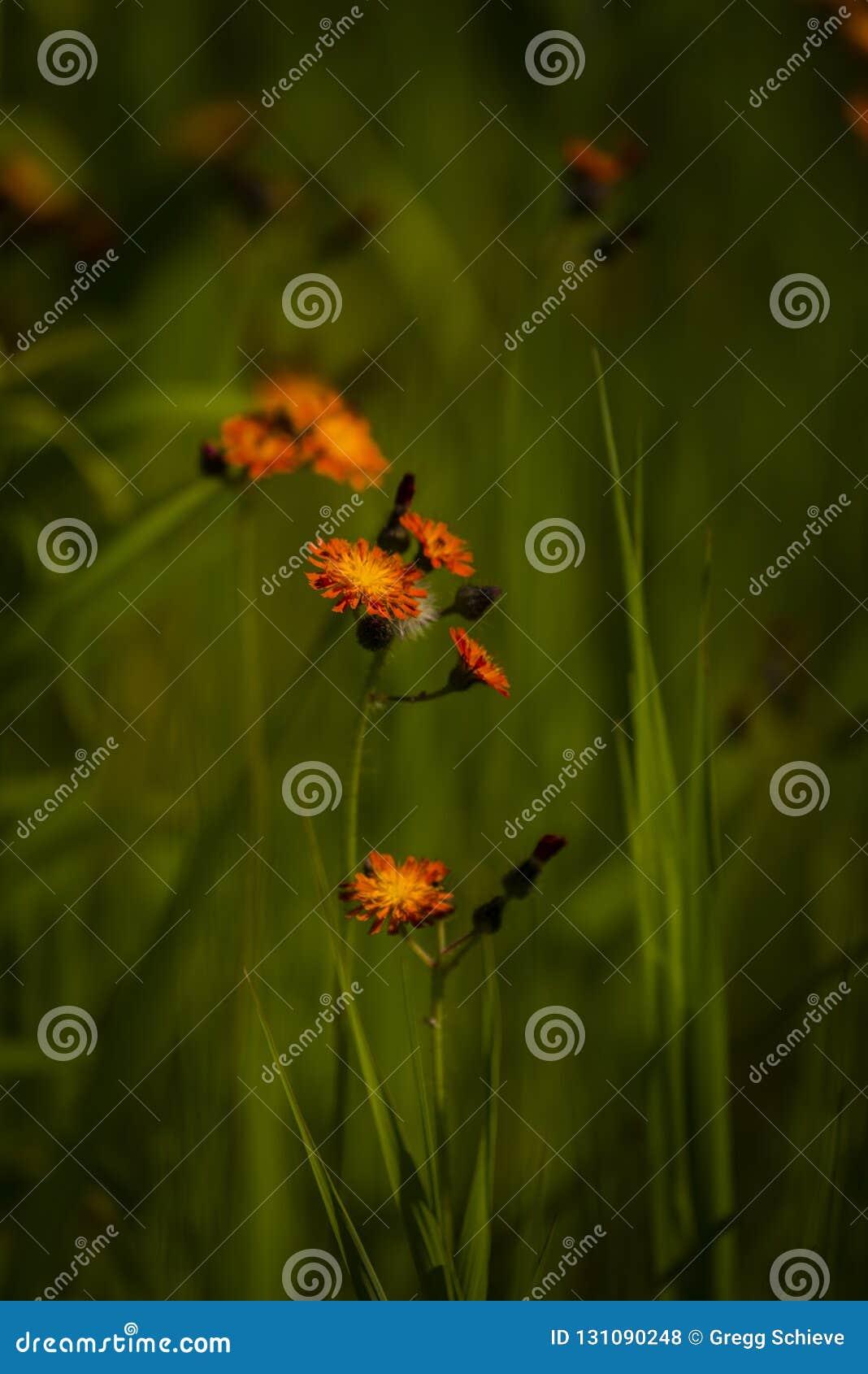 Vildblommor för orange hawkweed