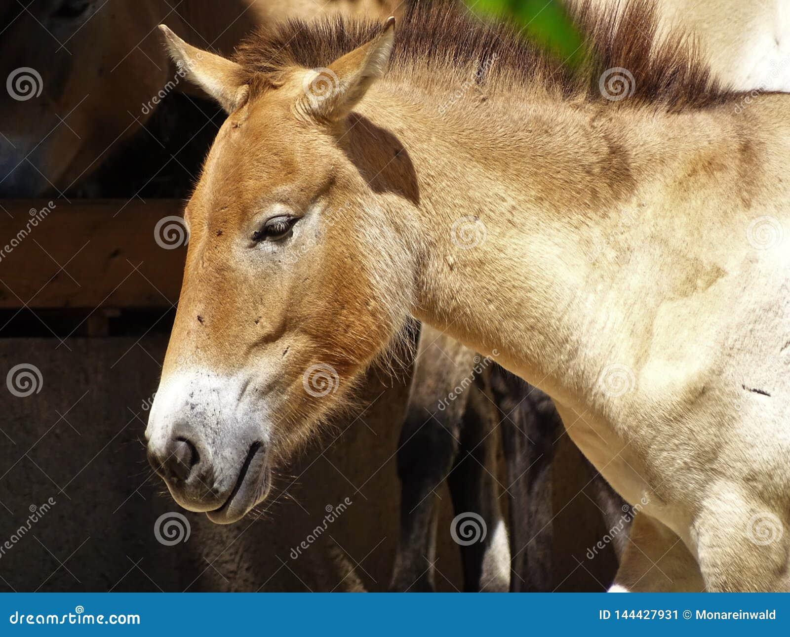 Vildhäst i zoo i Augsburg i Tyskland