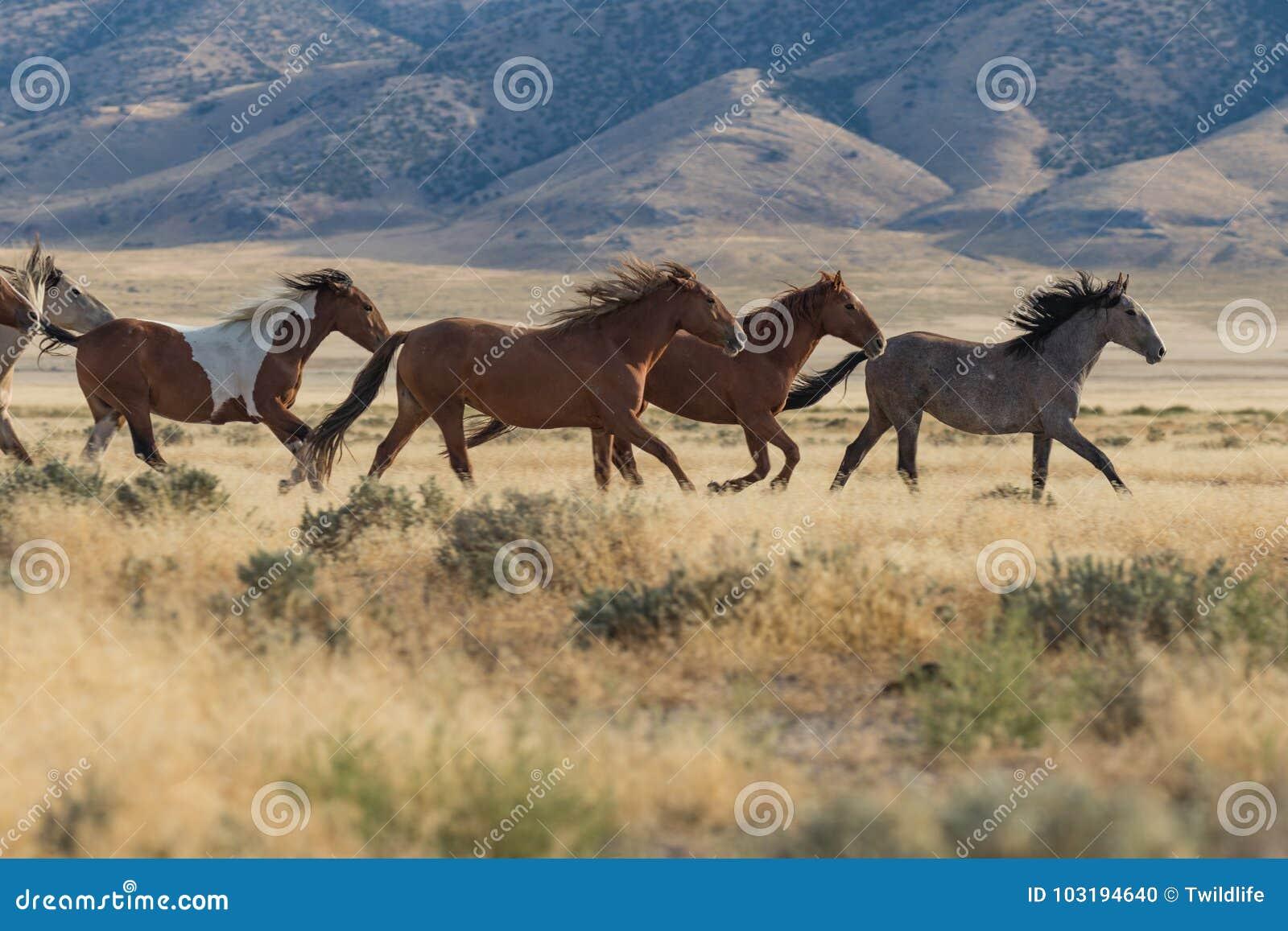 Vildhästar som kör i den Utah öknen