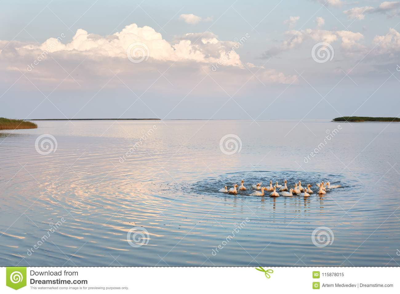 Village geese flock bathing in the calm water in lake, creek or pond. Peacefull landscape with clouds reflected on