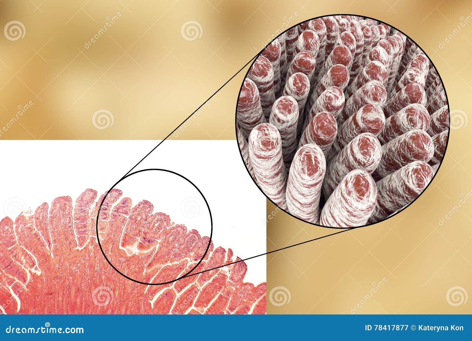 Villi Of Small Intestine Stock Illustration Illustration Of