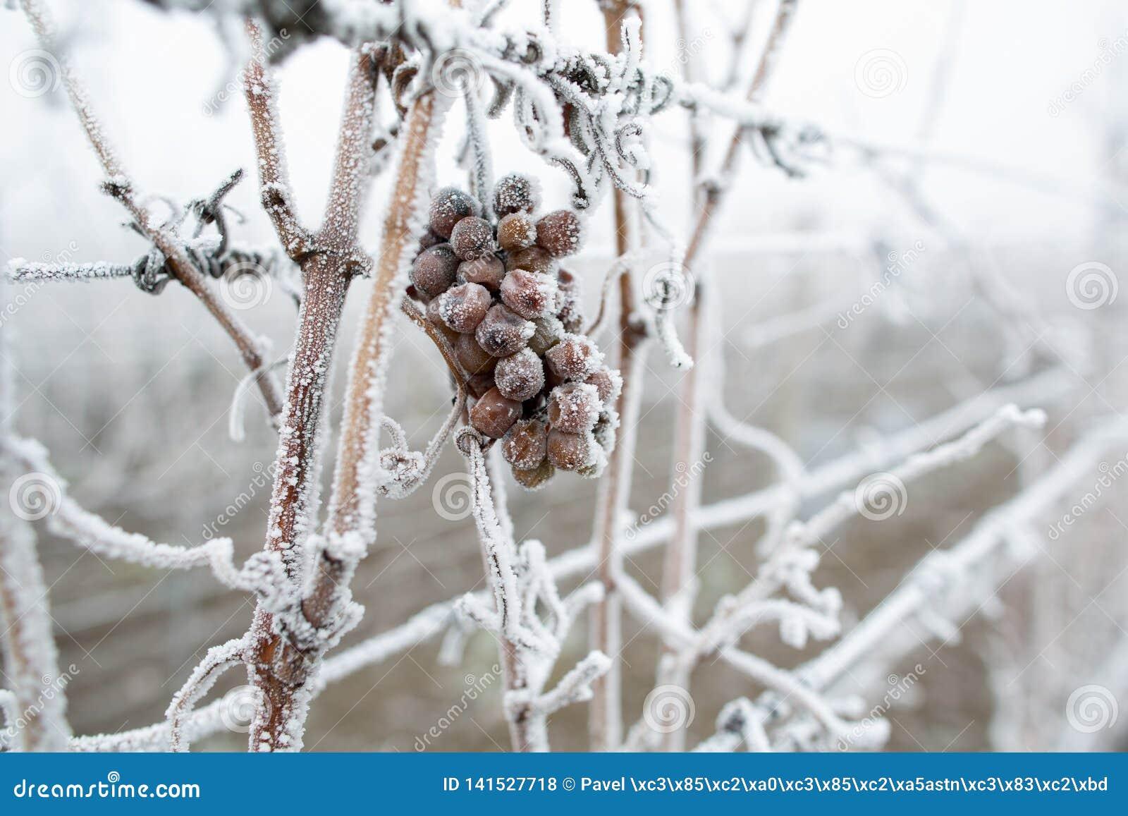Vin de glace Raisins de vin rouge pour le vin de glace en état et neige d hiver Raisins congelés couverts par la glace blanche de