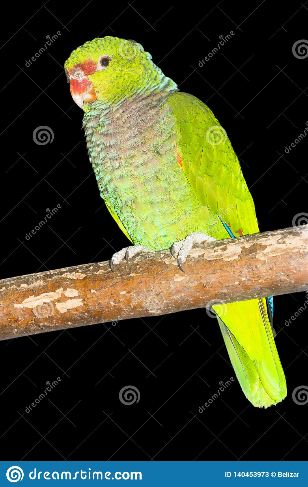 Vinaceous-breasted amazon parrot