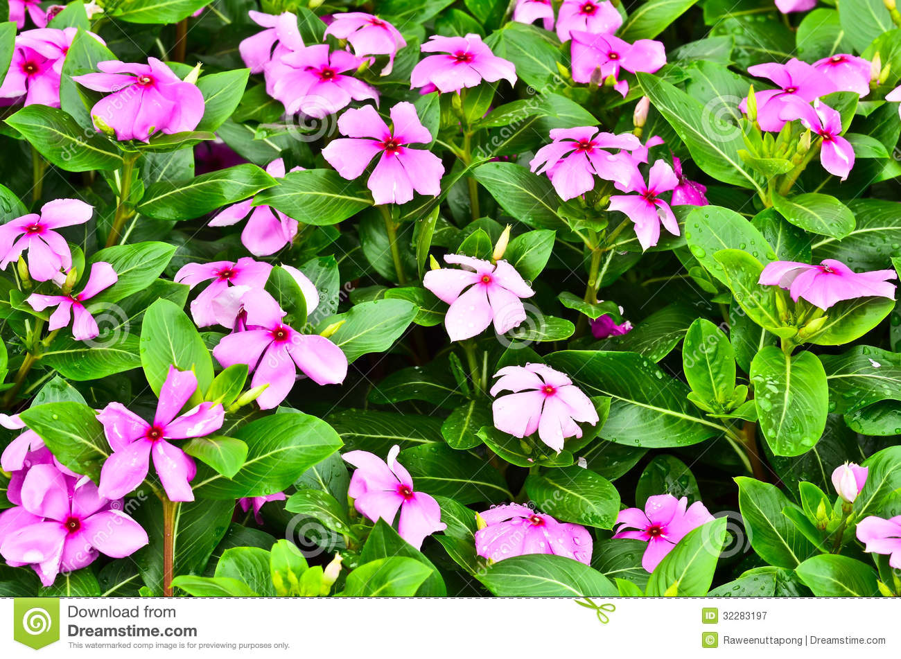 Vinca Flower Royalty Free Stock graphy Image
