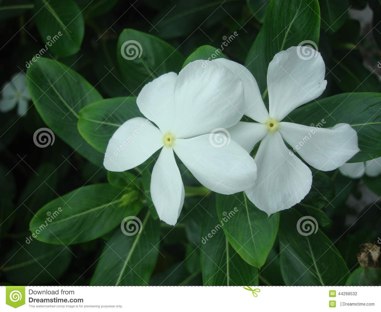 Vinca Flowers Stock Photo Image Of Colour White Park 44268532