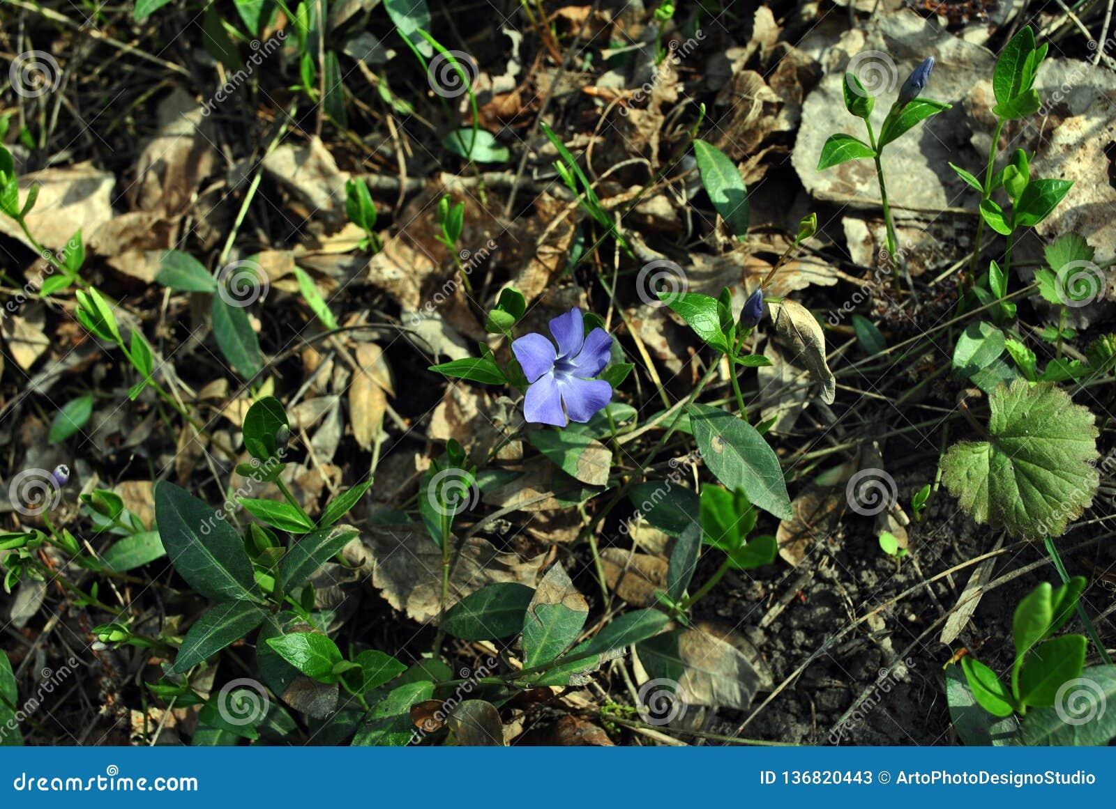 Vinca major bigleaf periwinkle, large periwinkle, greater periwinkle, blue periwinkle flower, grassand