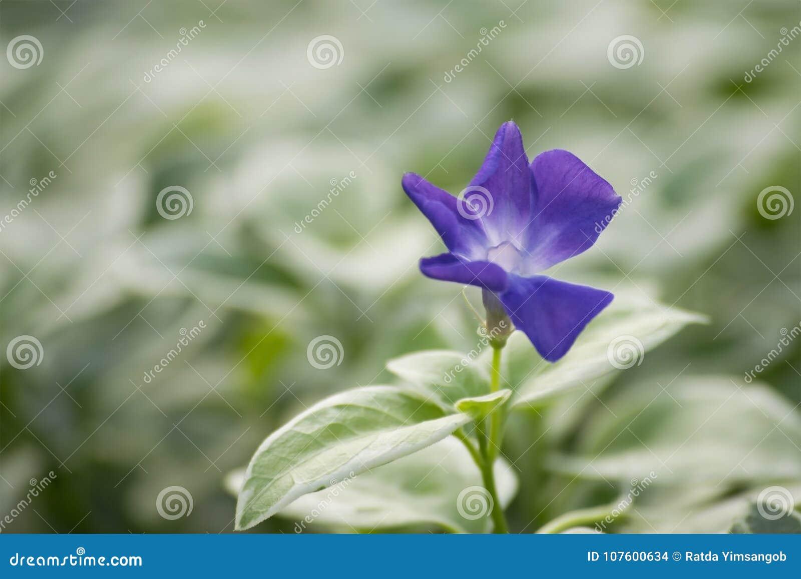 Beautiful Purple Flower Of Vinca Vine Stock Photo Image Of Season