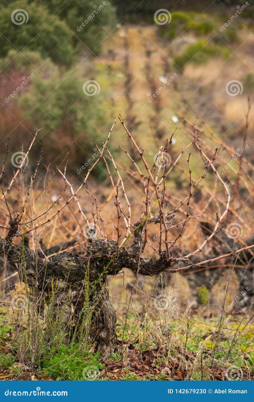 Vine on foreground