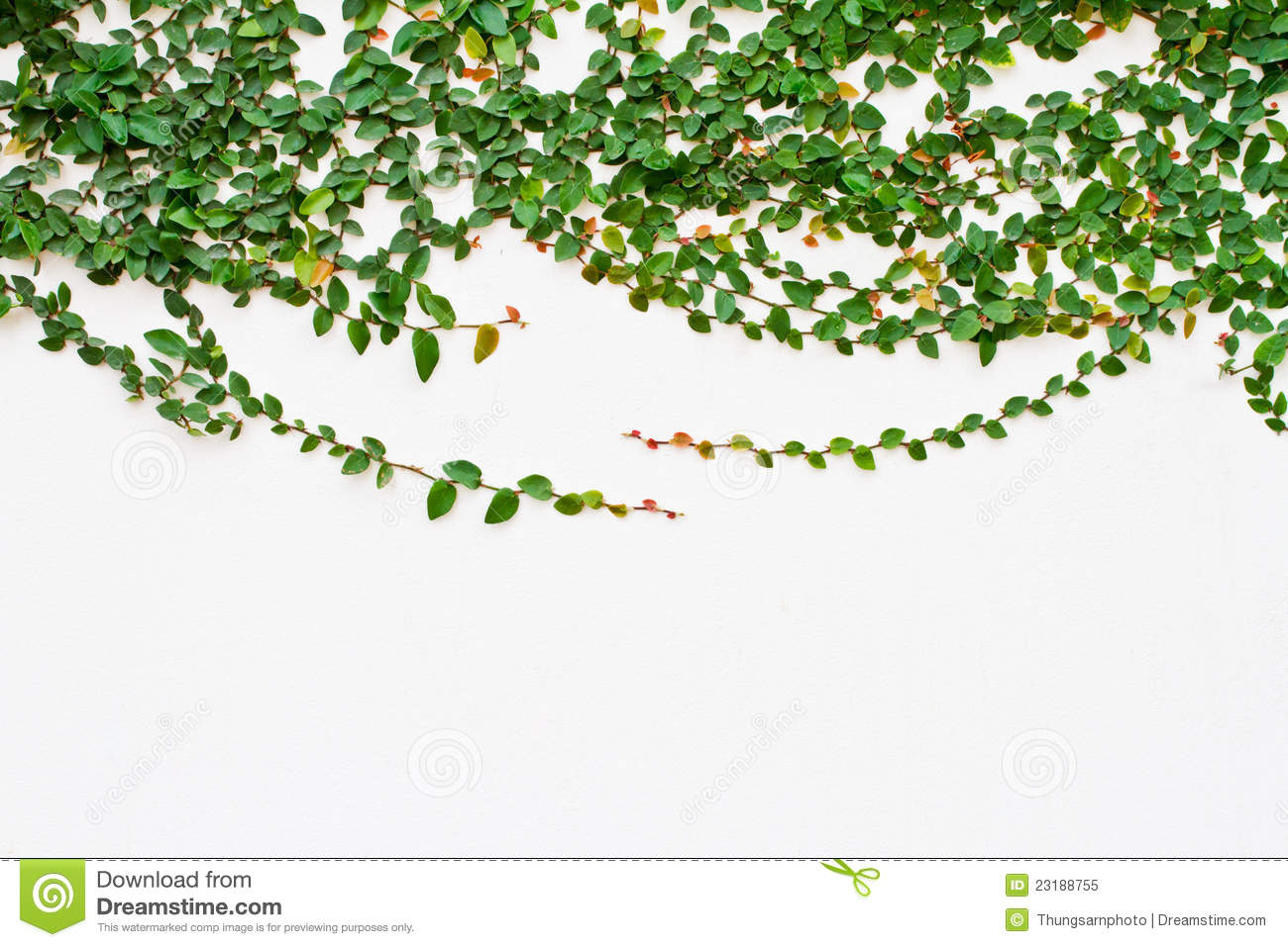 Vine Growing On The White Wall Stock Image Image Of