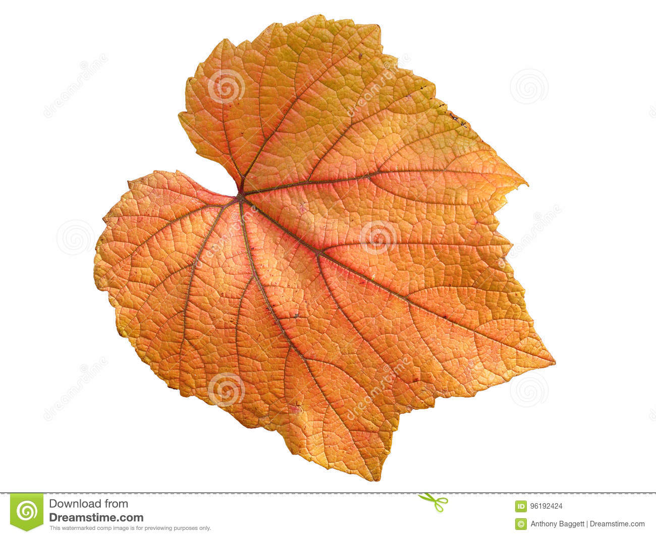 Vine leaf in autumn