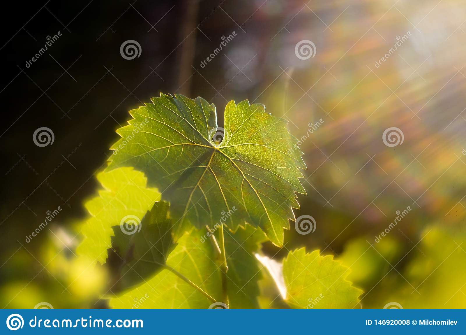 Vine leaves in autumn. Vine leaves lit by the setting sun. Green leaves lit by soft sunlight. Wine vineyards shining from the sun