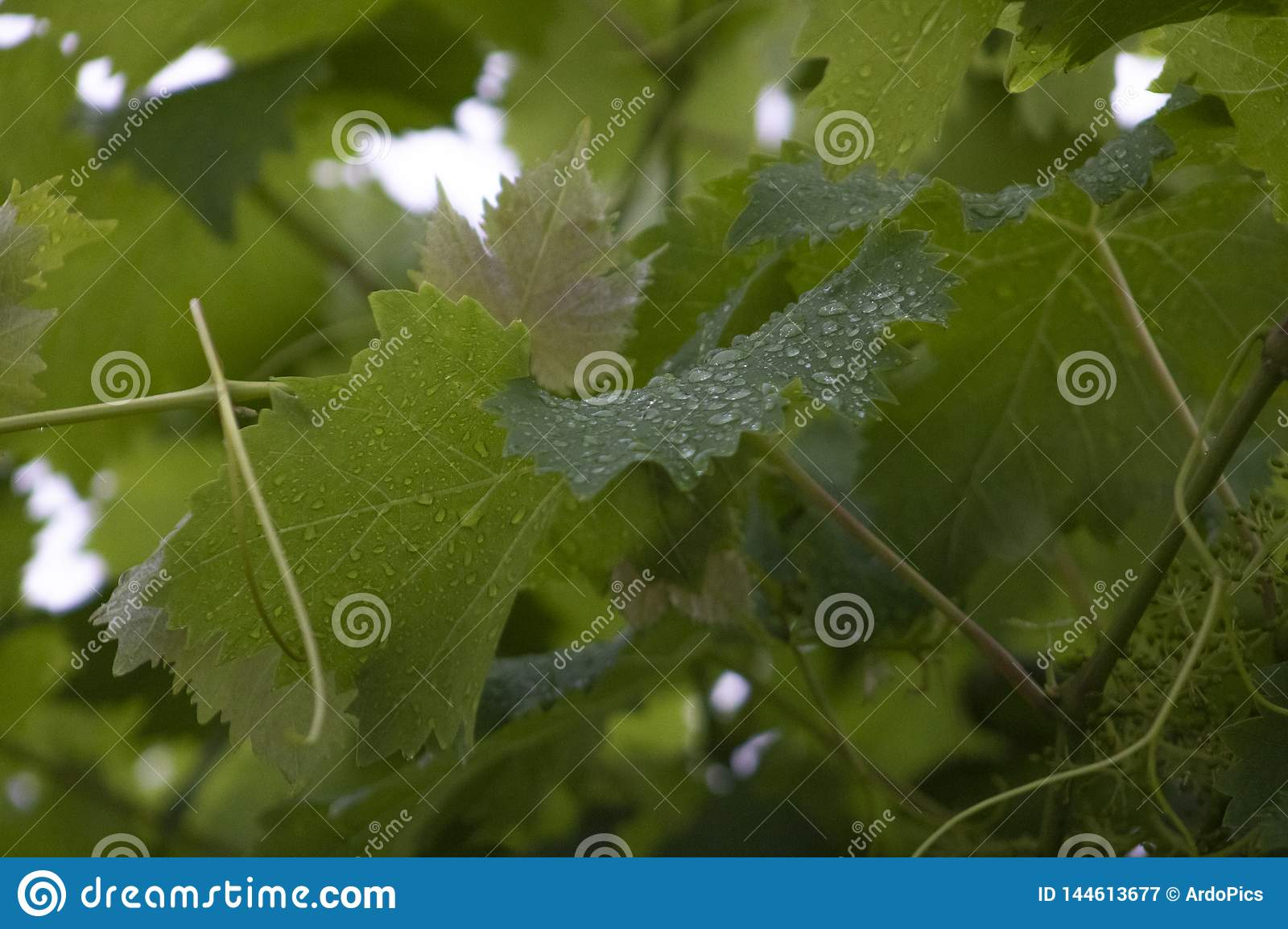 Vine leaves with dew