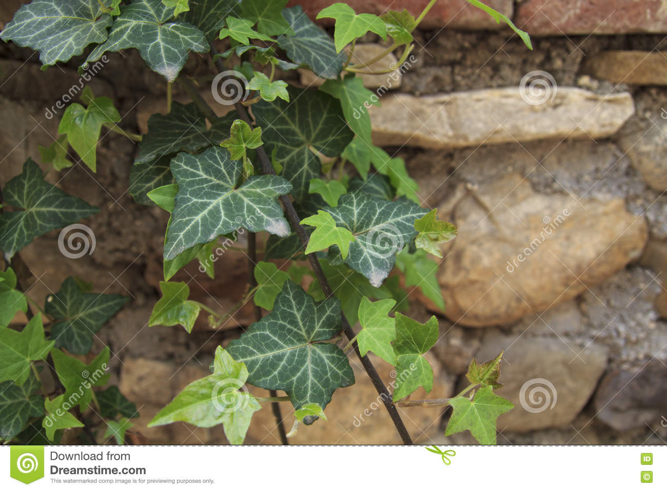 Vine Leaves At The Wall Stock Image Image Of Plant Orange 73577461
