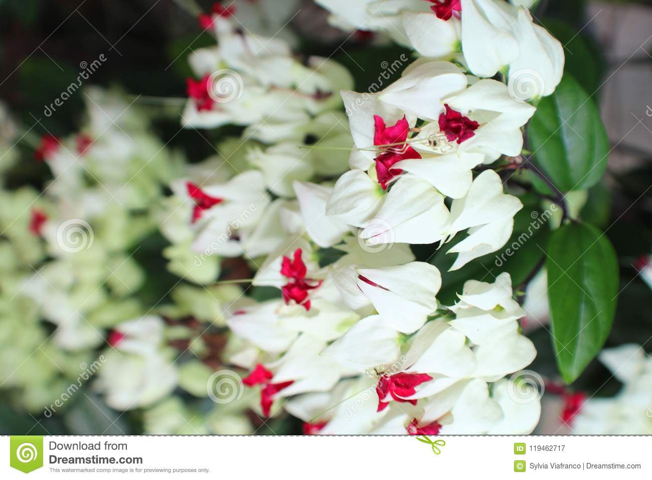 Flowers stock image image of white flowers type tips 119462717 a vine type of flowers with white n red tips mightylinksfo