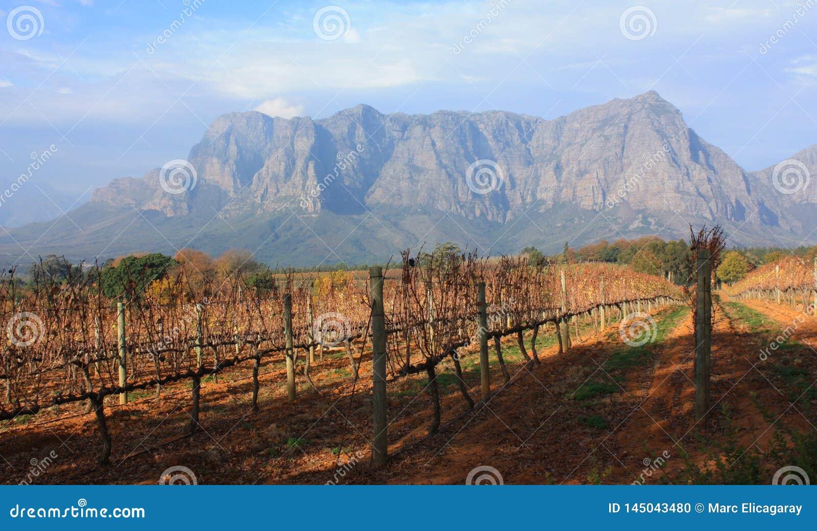 Vine Yard Stellenbosch Southafrica Delaire Graff