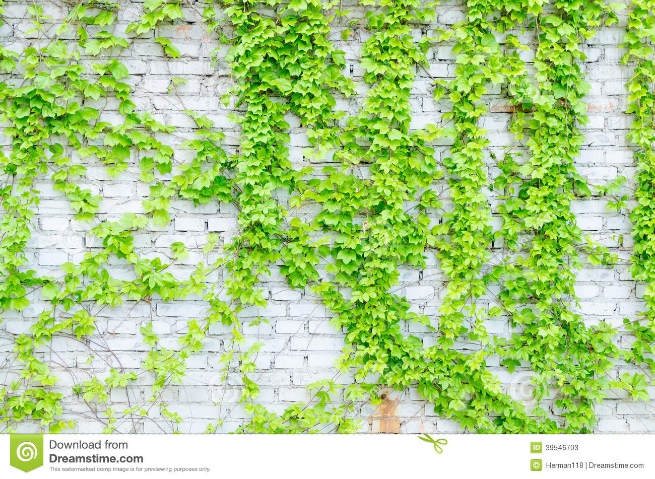 Climbing vines for walls - Royalty Free Stock Photo Download Vines And Walls