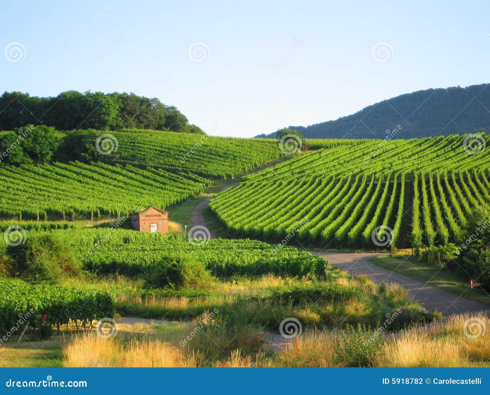Vineyard in Alsace