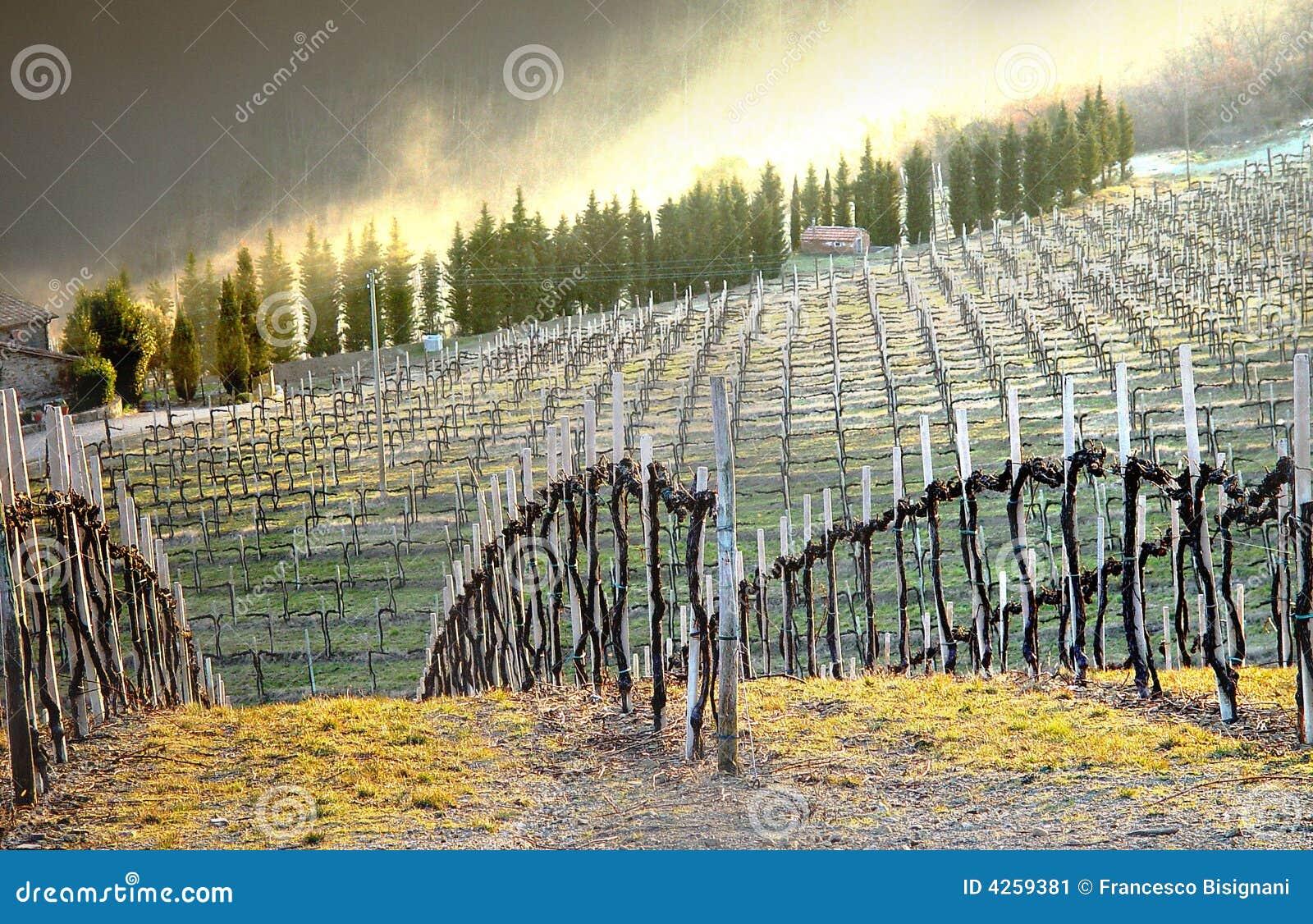 Vineyard - Chianti, Italy