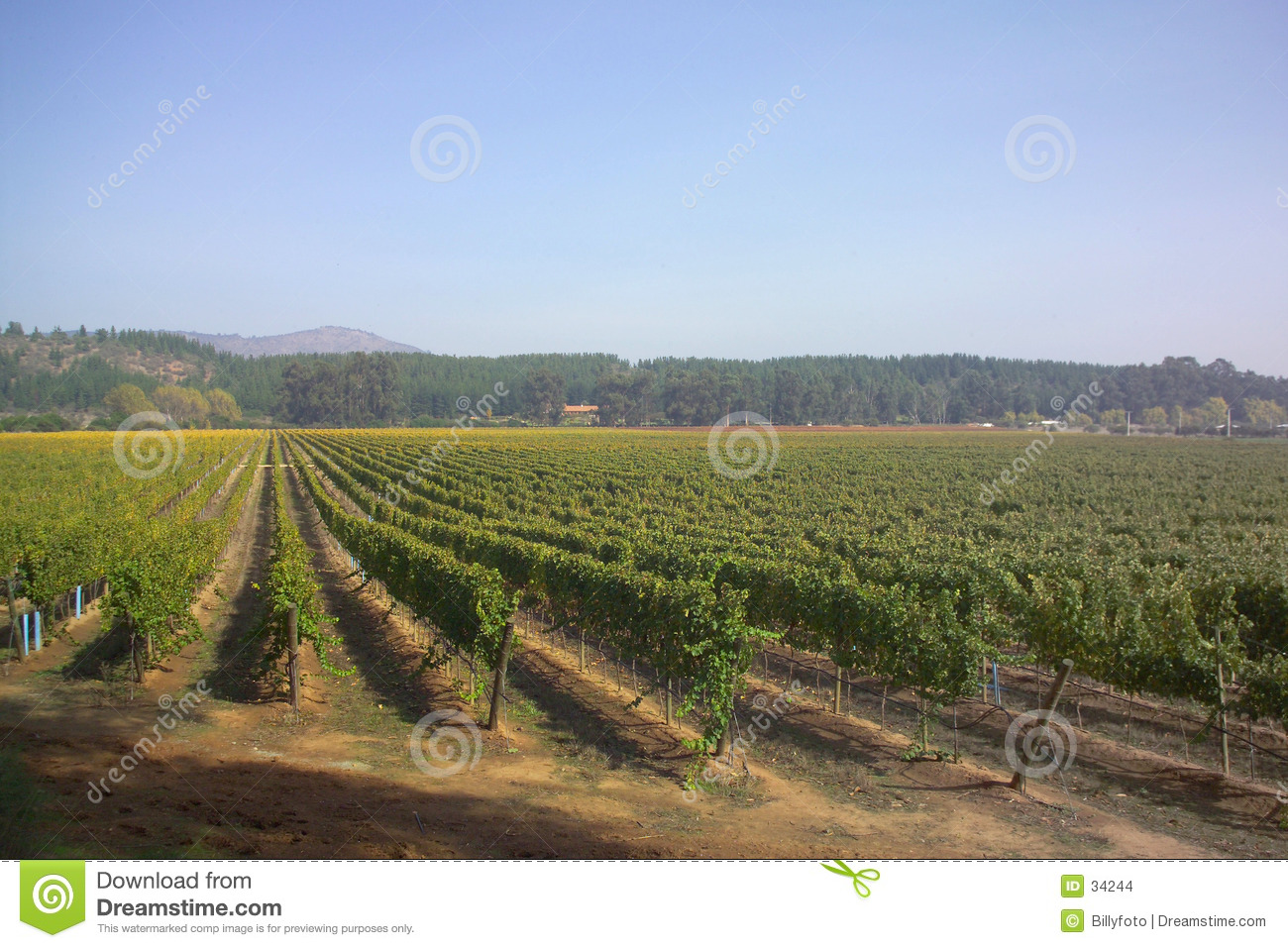 Vineyard in Chile 1