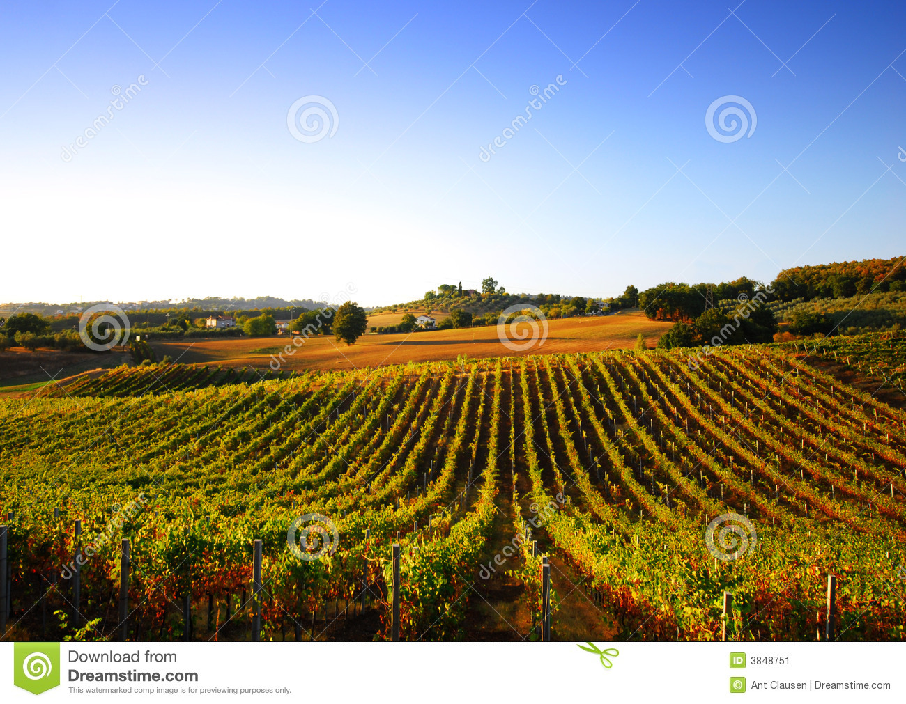 Vineyard in Italy