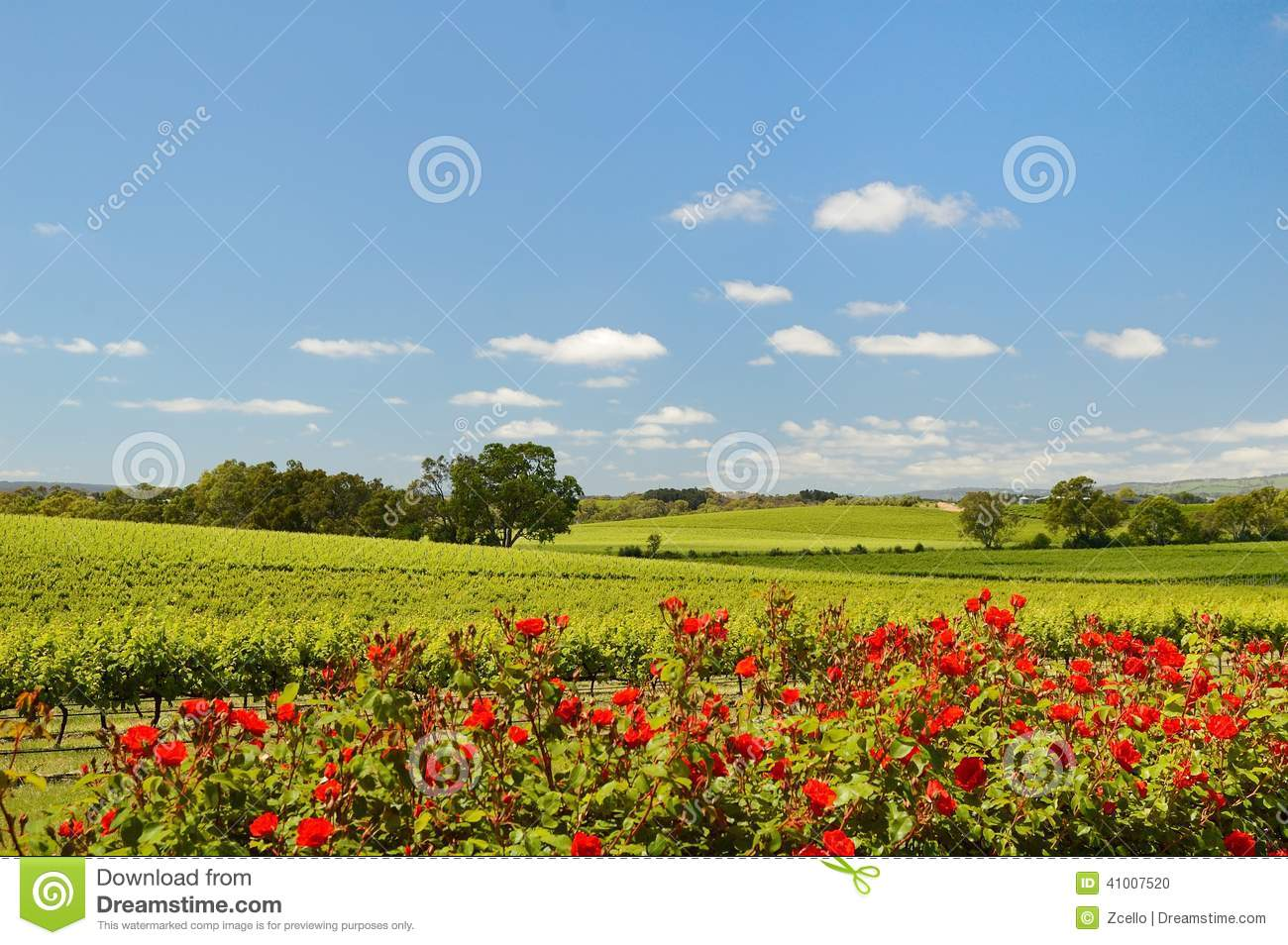 Vineyard In Mclaren Vale With Roses Stock Photo Image