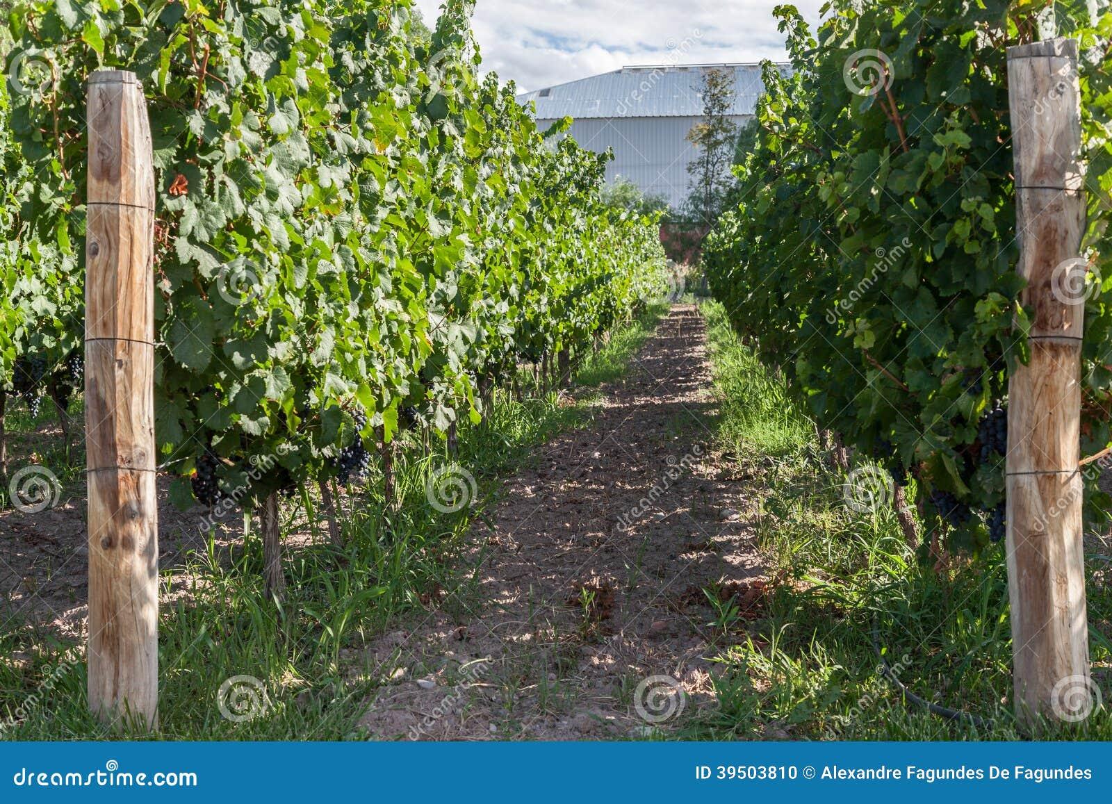 Vineyard in Mendoza Argentina