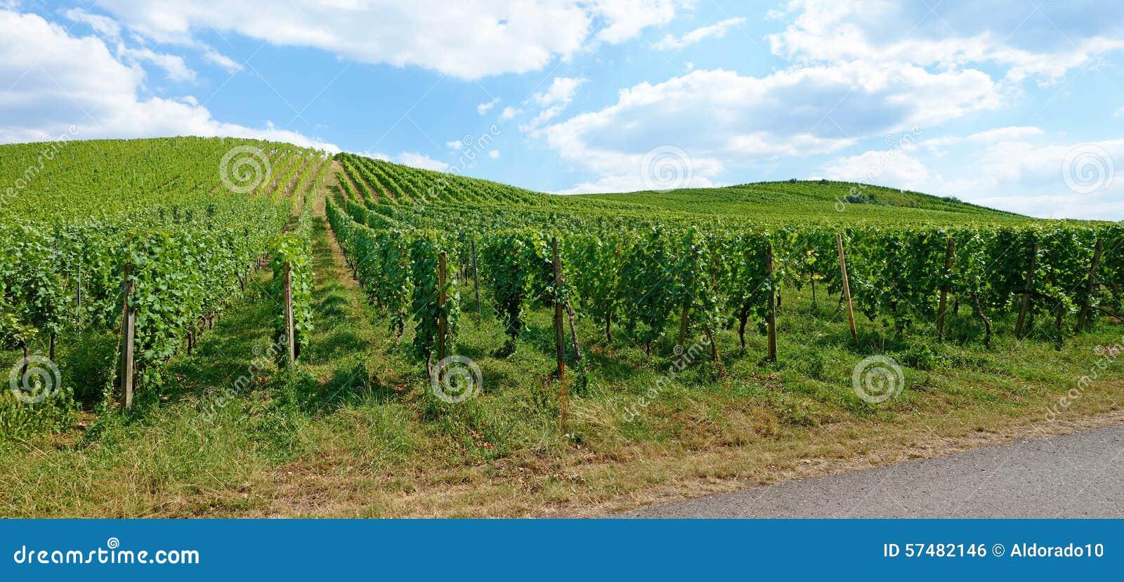 Vineyard Panorama Stock Photo - Image: 57482146