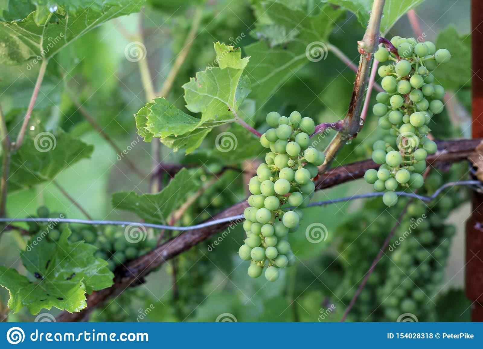 Vineyard after the rain. Bunches of grapes close-up with water drops