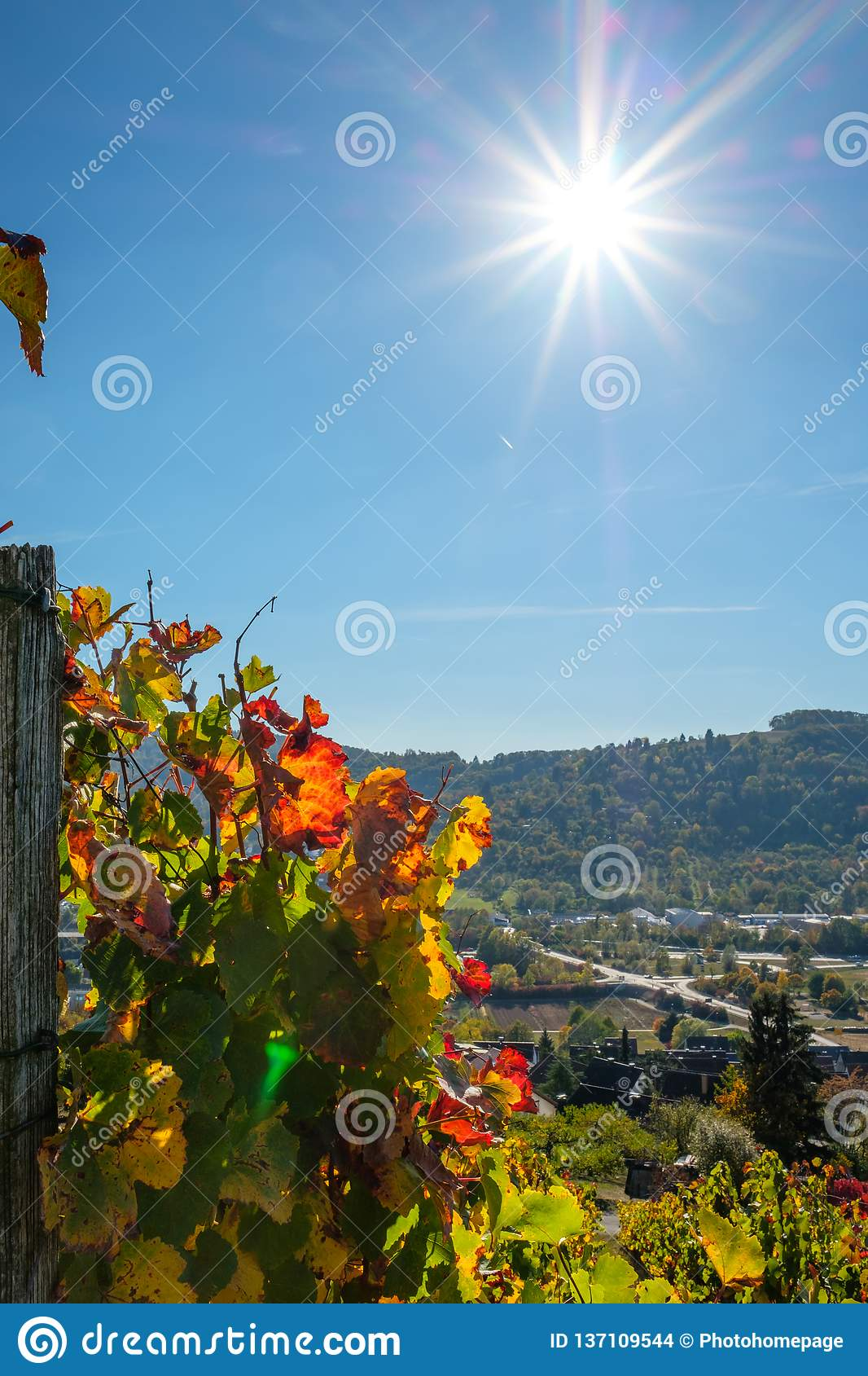 Vineyard with vinegrapes in autumn with sunbeams in the sky