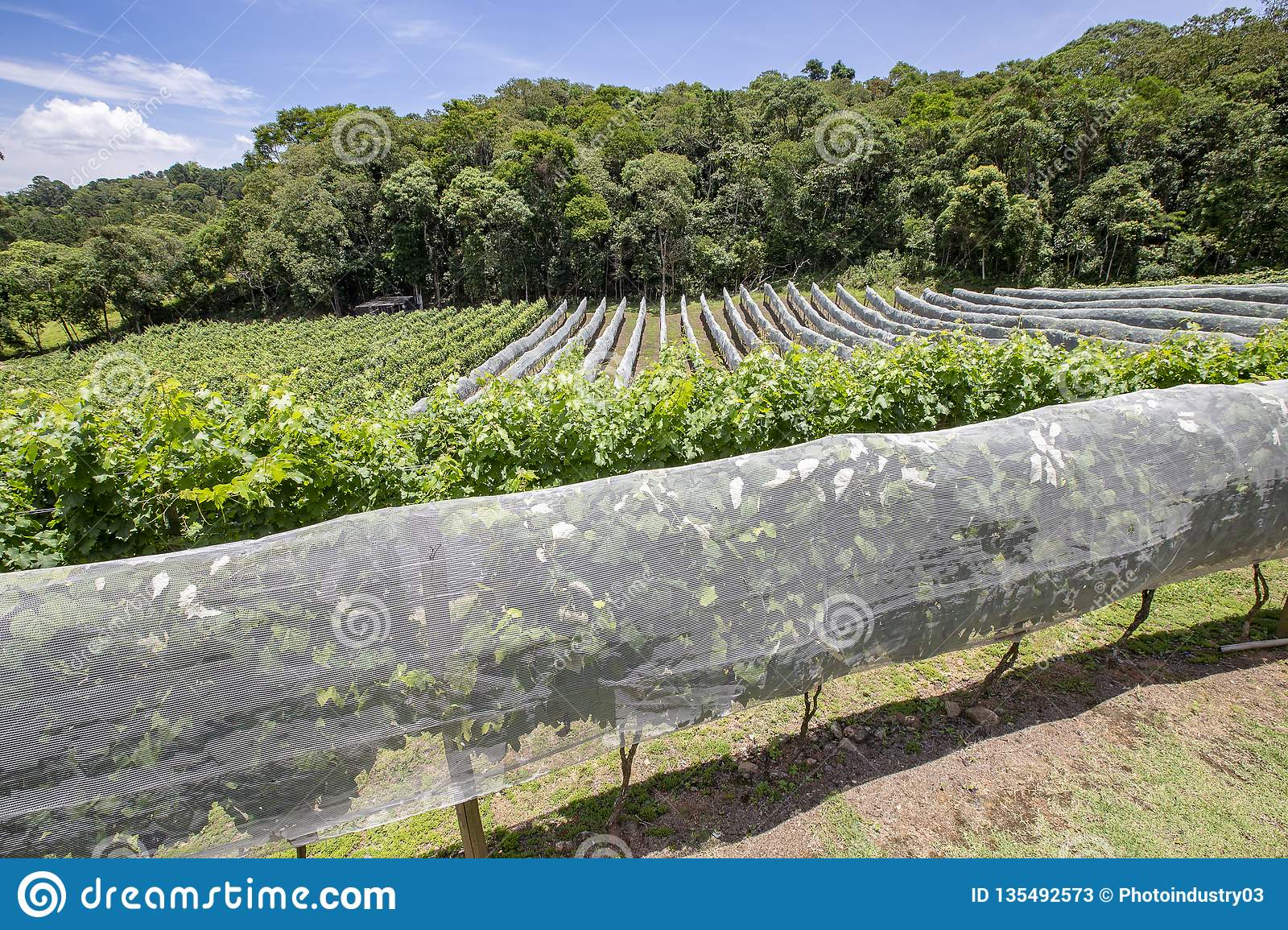 Vineyard With Vines Covered With Net Stock Image - Image of