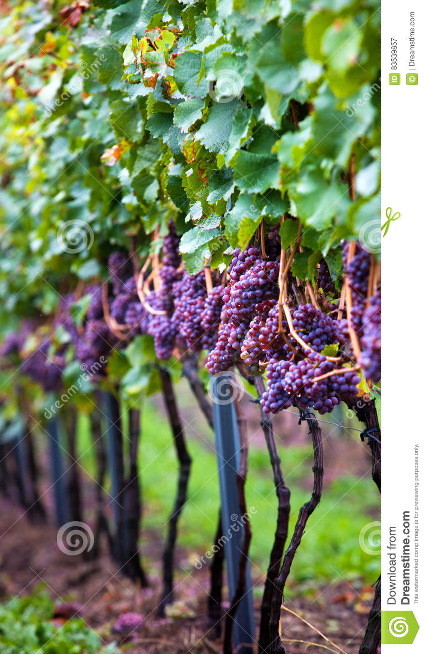 Small Backyard Vineyard vineyard with vines stock image. image of wegetarinin - 83539857