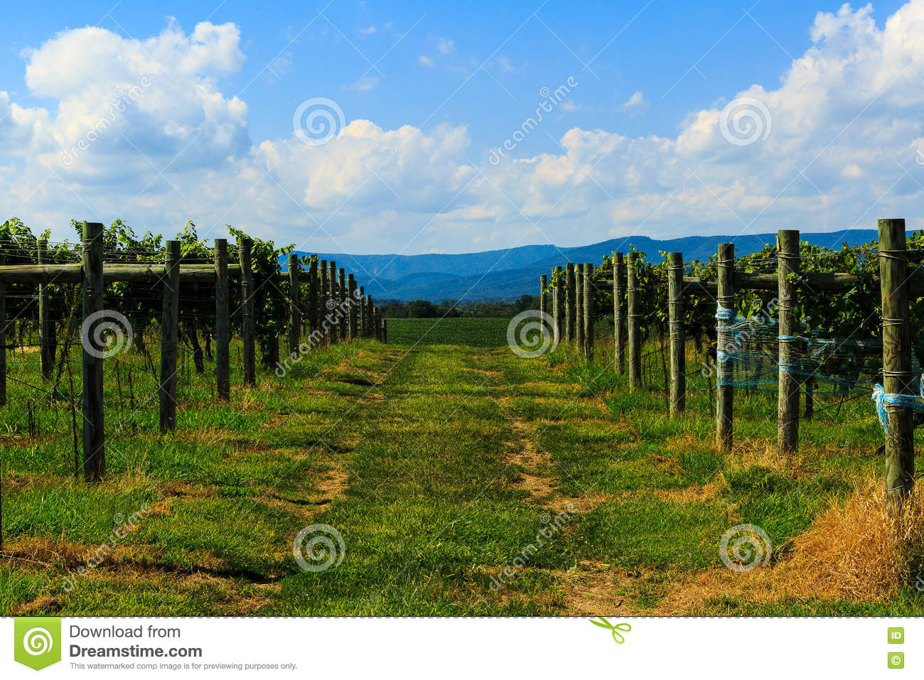 Vineyard In Virginia With Grapes And Mountain Scene Stock Photo