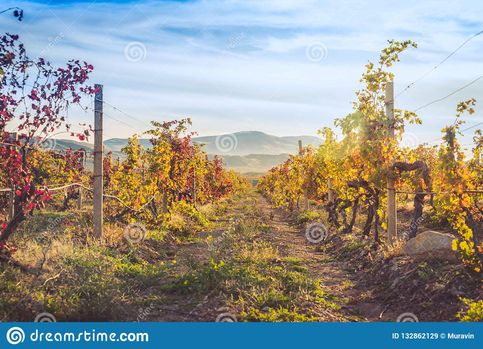 Vineyard with yellow-red leaves in autumn at sunset
