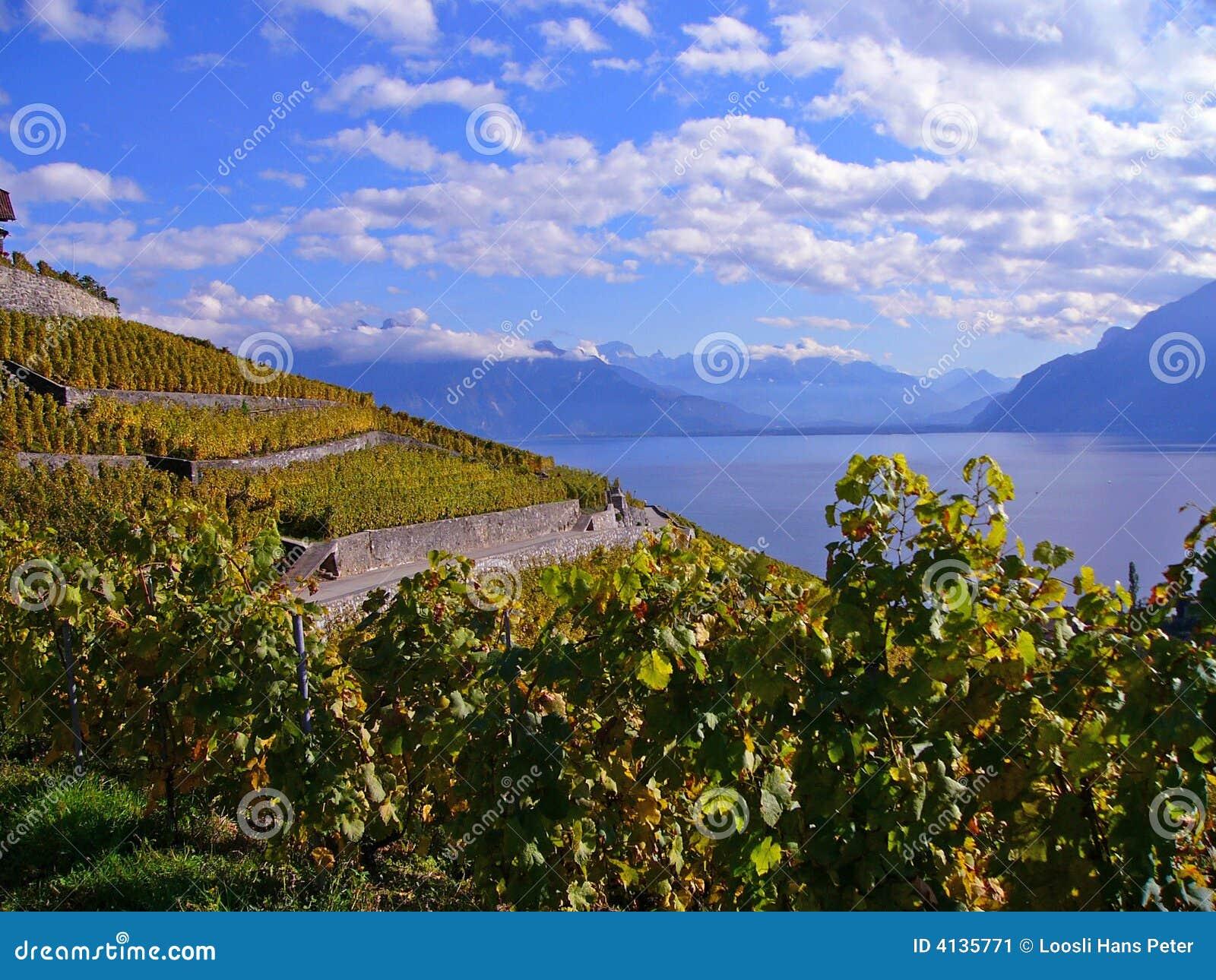 Vineyards in Automn