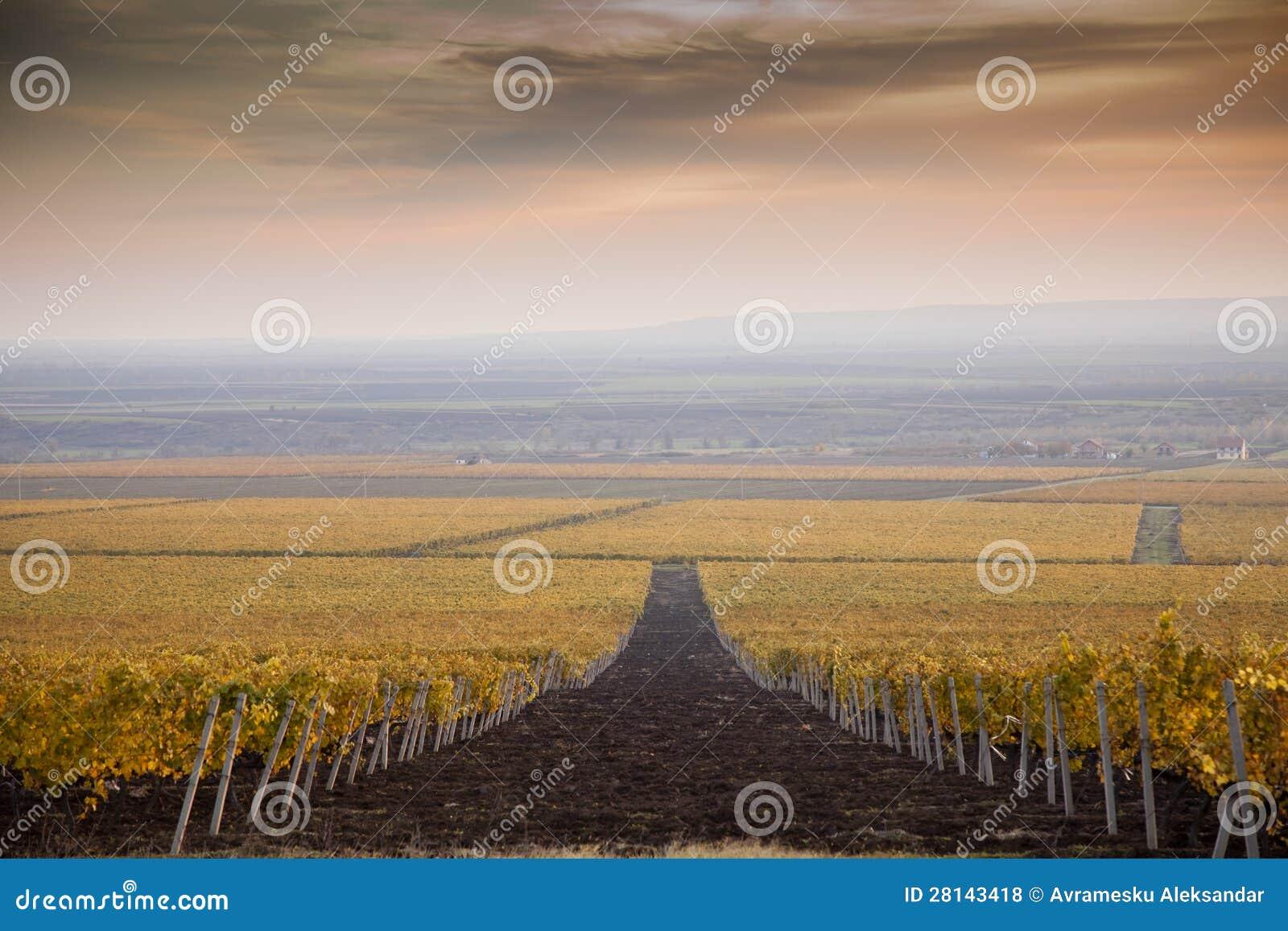 Vineyards in the autumn