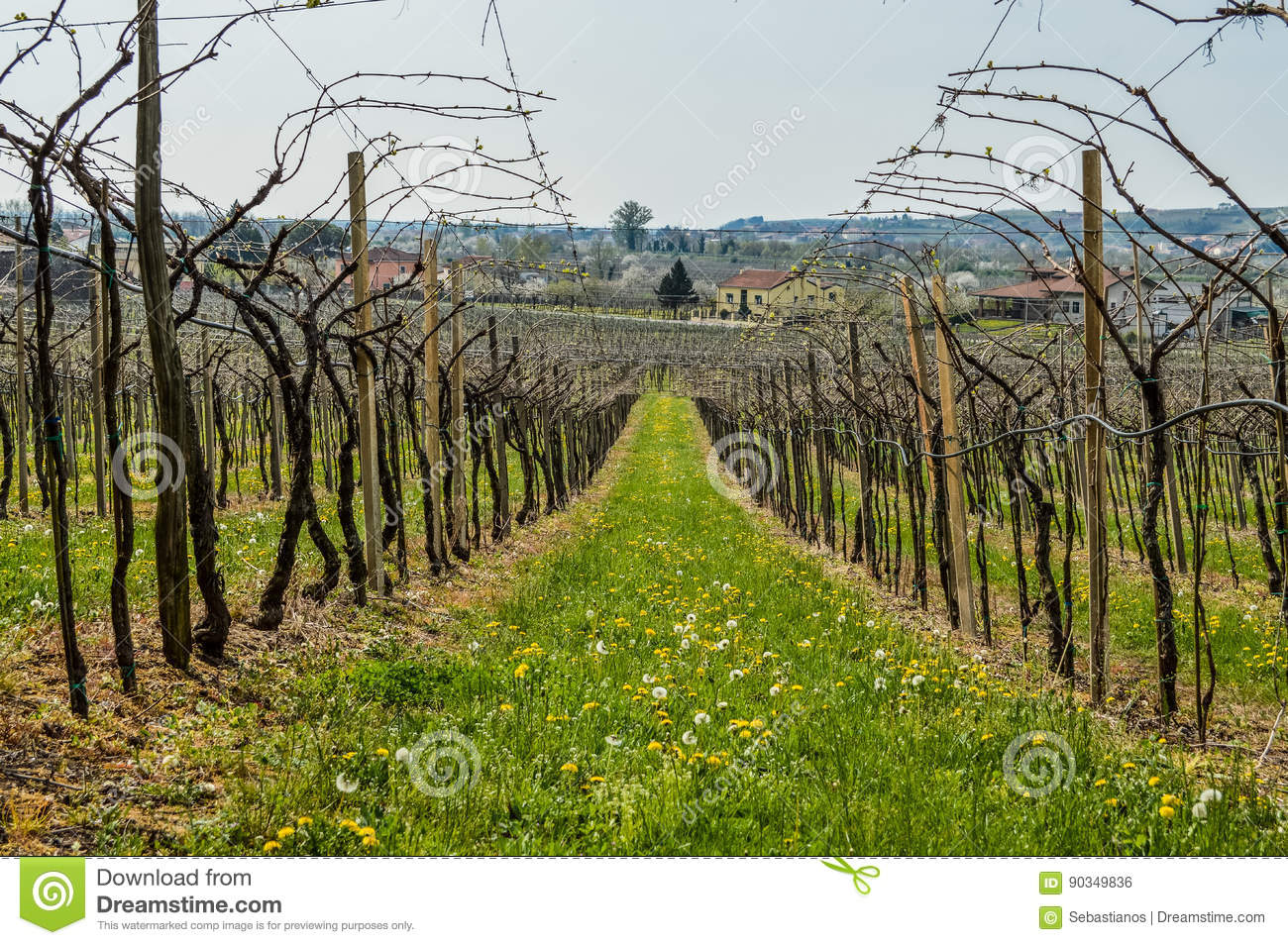 Vineyards On The Hills Of The Soave Area Near Verona In