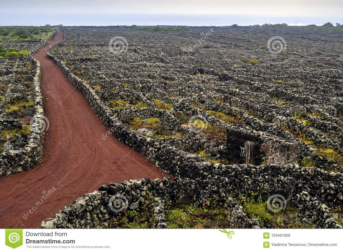 Vineyards with lava`s walls on the island of Pico listed on the UNESCO protected list