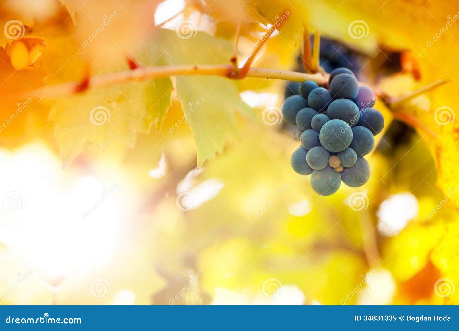 Vineyards at sunset in autumn harvest season