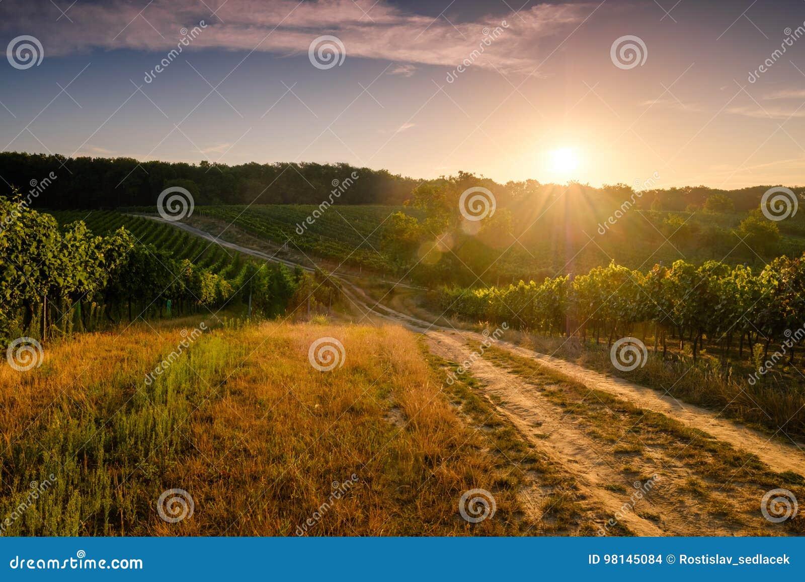 Vineyards at sunset, Czech republic