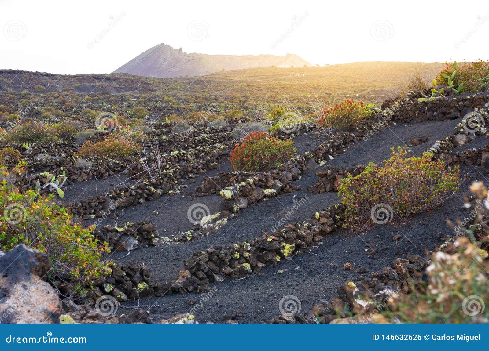 Vineyards on volcanic land in Lanzarote