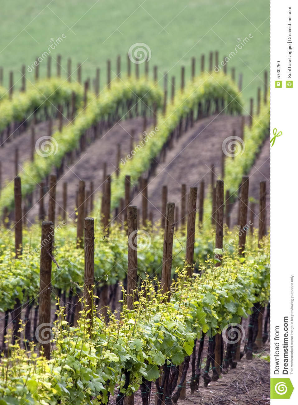 Vineyards wawes in spring. Colors of spring vineyard in the Ghiaie valley, Calvignano, Oltrepo pavese, Pavia, Italy.