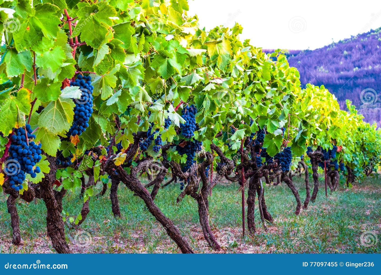 Vingård av blåa druvor