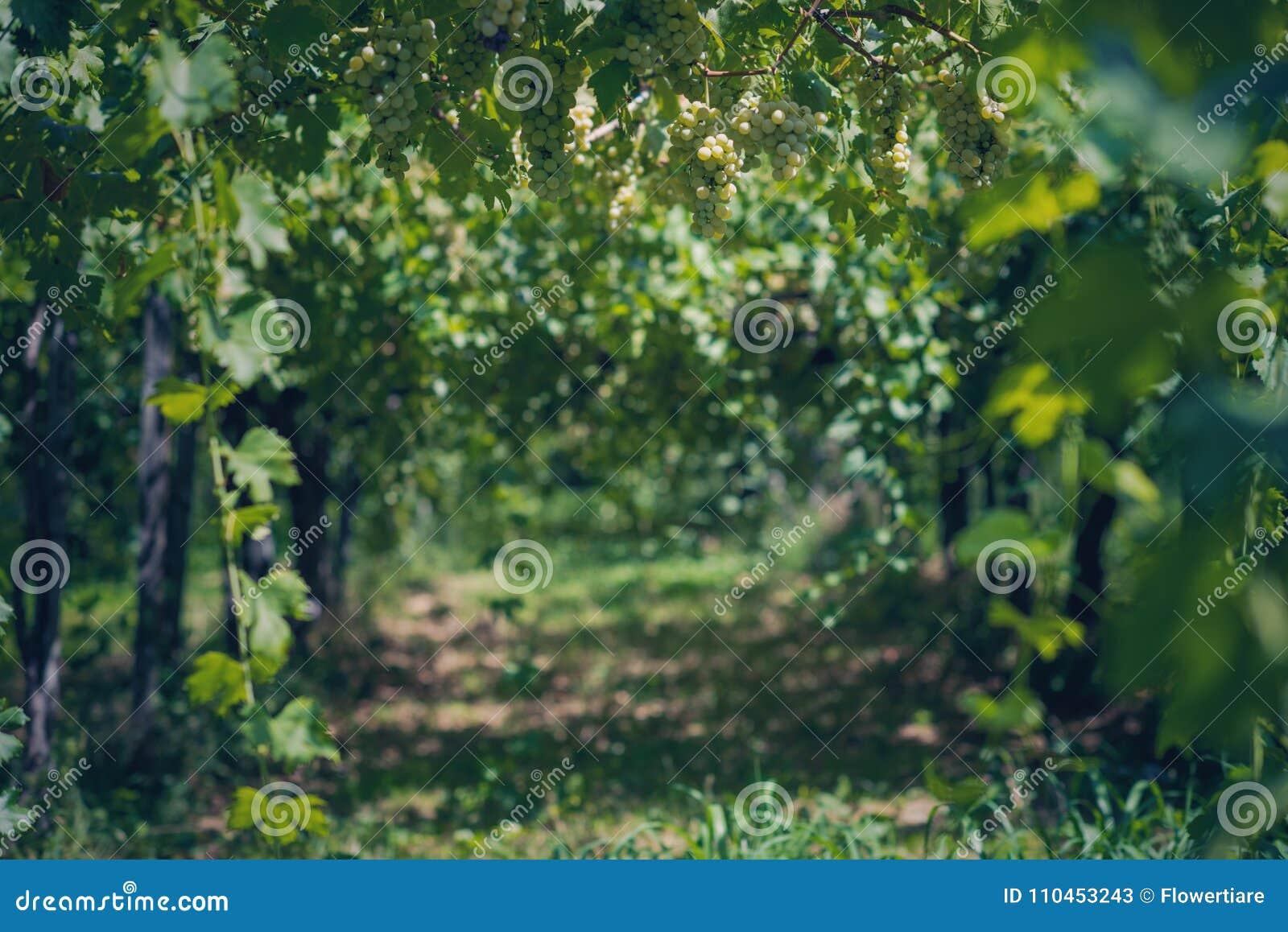 Vingård i sommar Stäng sig upp av grupp av druvor och vinrankor