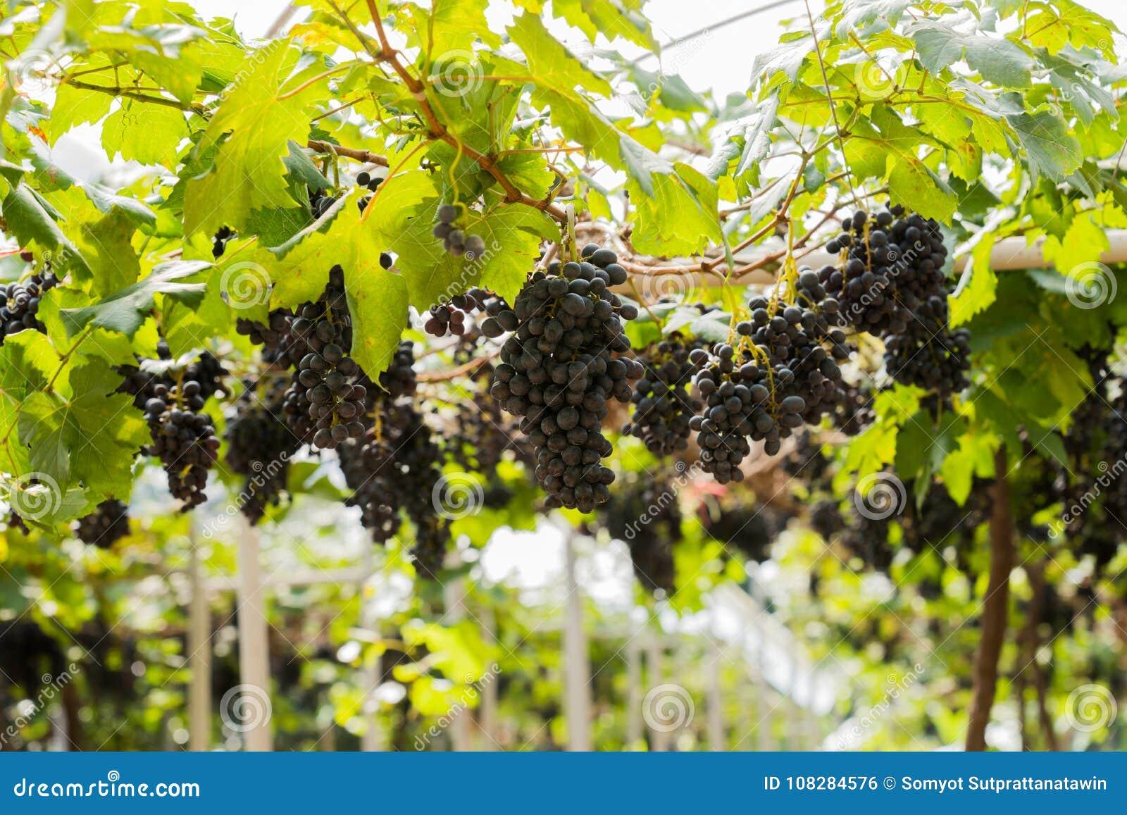 Vingård med den organiska nya druvan för frukt och vin