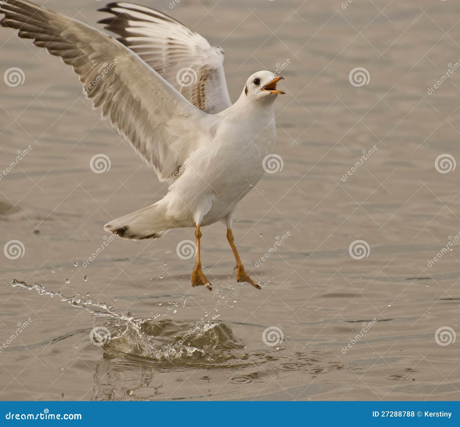 Vingar av seagullen