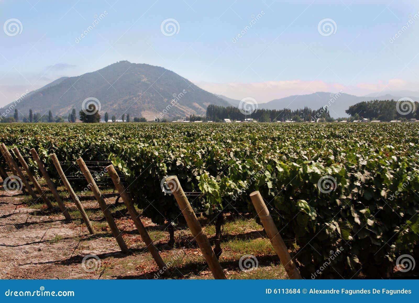 Vinhedo no Chile