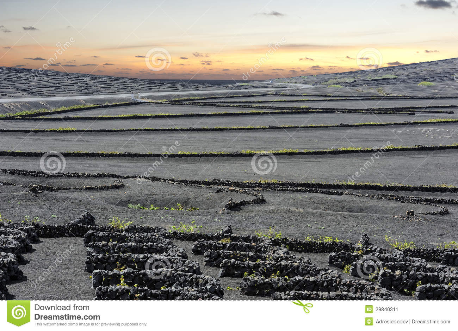 Vinhedos no vale no por do sol, ilha de Geria do La de Lanzarote, canário