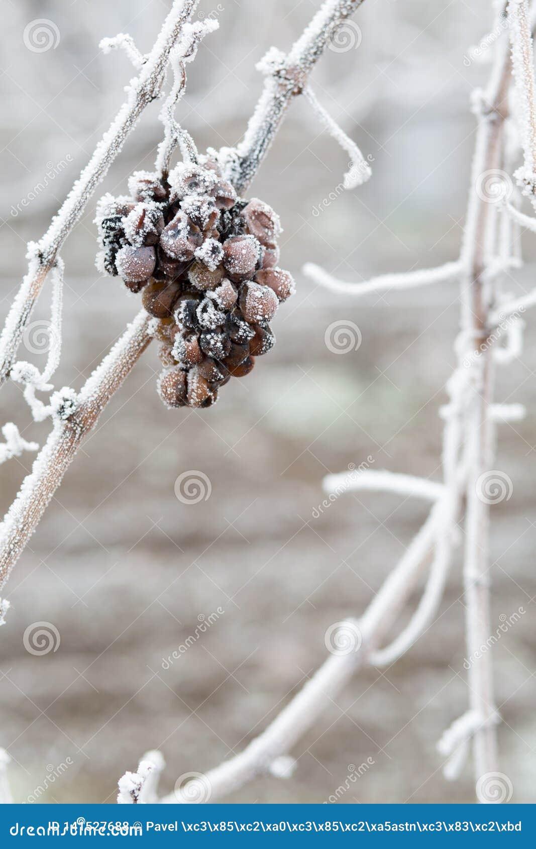 Vino del ghiaccio Uva rossa del vino per il vino del ghiaccio nello stato e nella neve di inverno Uva congelata coperta dal ghiac