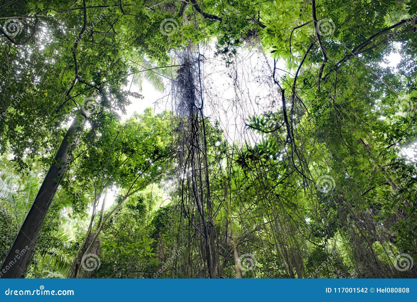 Vinrankor i tropisk djungelskog, Barbados